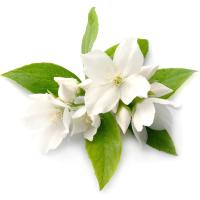 Fragrance Oil - Alkmar (type)