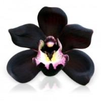 Fragrance Oil - Black Orchid Vanilla