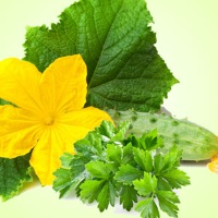 Fragrance Oil - Cucumber Wasabi Cilantro