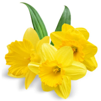 Fragrance Oil - Daffodils