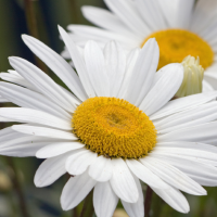 Fragrance Oil - Daisy (Type)