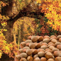 Fragrance Oil - English Oak and Hazelnut (JM type)  LIMITED EDITION
