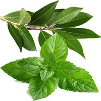 Fragrance Oil - Eucalyptus & Spearmint