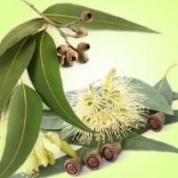 Fragrance Oil - Eucalyptus