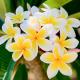 Floral Fragrance Oils