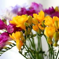 Fragrance Oil - Freesia (BBW Type)
