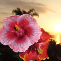 Fragrance Oil - Hawaiian Hibiscus (type)