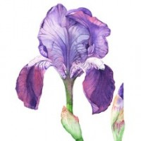 Fragrance Oil - Infusion of Iris (W) (type)