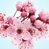 Fragrance Oil - Japanese Cherry Blossom (type)