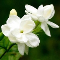 Fragrance Oil - Jasmine