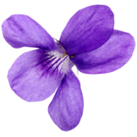 Fragrance Oil - Kerb Violet (type)