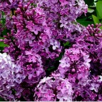 Fragrance Oil - Lilac