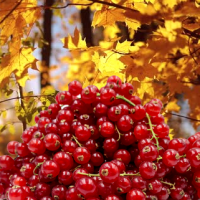 Fragrance Oil - Oak and Red Currant (JM type)