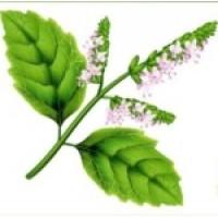 Fragrance Oil - Patchouli