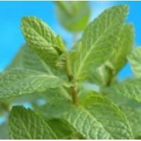 Fragrance Oil - Peppermint
