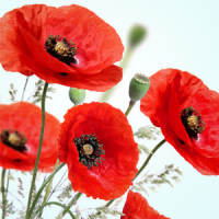 Fragrance Oil - Poppy (W) (type)