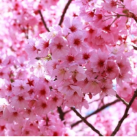 Fragrance Oil - Sakura (type)
