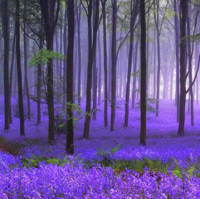 Fragrance Oil - Wild Bluebell (JM type)